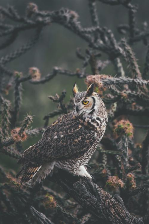 tumblr nzzae9v3xR1ukofkbo1 r2 500 - banshy:  Arizona Owl // Dylan Furst