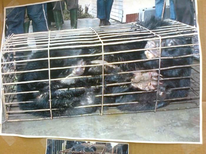 tavolo per gli orsi delle fattorie della bile 20110717 1284573955 - TAVOLO ANIMALS ASIA DEL 16.07.2011
