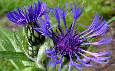 fiordaliso e1405157414261 400x250 1 - Centaurea: proprietà e benefici per la salute