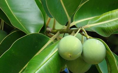 olio di tamanu 400x250 1 - Olio di tamanù, proprietà e utilizzi - ricette-vegane-dal-web-