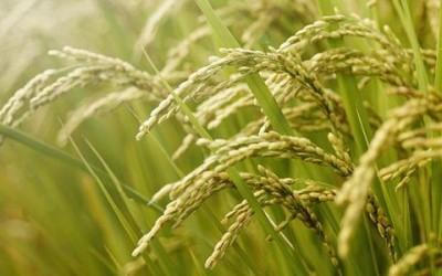 riso 400x250 1 - Olio di riso: proprietà, benefici ed utilizzi in cucina - ricette-vegane-dal-web-