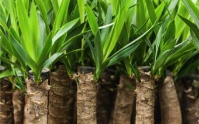 Radici di Yucca 400x250 2 - Yucca proprietà e benefici per la salute - ricette-vegane-dal-web-