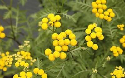 Tanacetum vulgare flowers 400x250 1 - Proprietà del tanaceto e benefici per la salute