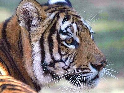Tigre_xin–400x300_67f6eb19b0977654885267ece493ba63