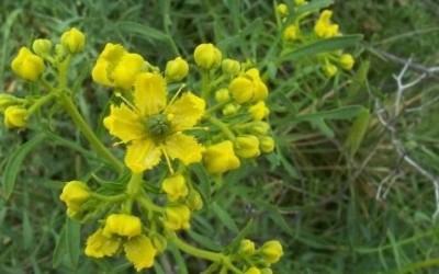 ruta chalepensis 8 e1428528205230 400x250 1 - Ruta pianta: proprietà e benefici per l'organismo - ricette-vegane-dal-web-