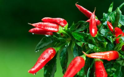 shutterstock 59682994 e1460650993102 400x250 1 - Come coltivare peperoncino in vaso e a terra - ricette-vegane-dal-web-