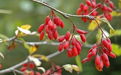 berberis vulgaris subsp vul e1428529040641 400x250 1 - Crespino proprietà e utilizzi di questa pianta - ricette-vegane-dal-web-