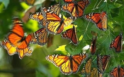 monarca4 e1449740355564 400x250 1 - La farfalla monarca e le sue incredibili migrazioni - ricette-vegane-dal-web-