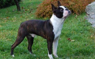 boston terrier1 e1467194844448 400x250 - Boston terrier: carattere e peculiarità - ricette-vegane-dal-web-