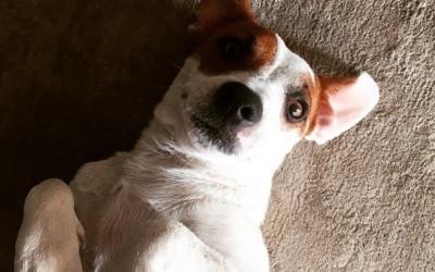 giru3 400x250 1 - Jack Russell Terrier, carattere e addestramento