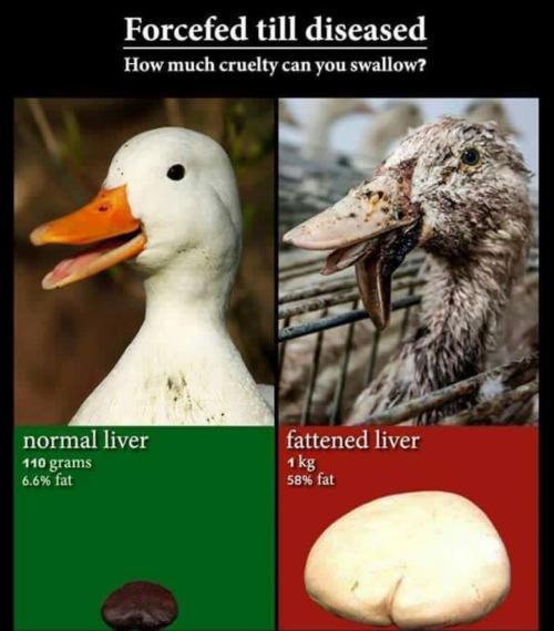 tumblr o8r4i0e9AN1tqolo9o1 500 1 - ▶️▶️▶️ http://www.veganpeace.com/animal_cruelty/foiegras.htm