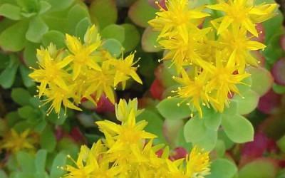 rodiola fiore 400x250 1 - Rodiola rosea: proprietà, benefici e controindicazioni - ricette-vegane-dal-web-