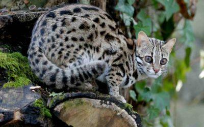 gatto leopardo2 400x250 1 - Gatto leopardo: carattere, educazione e aspetto