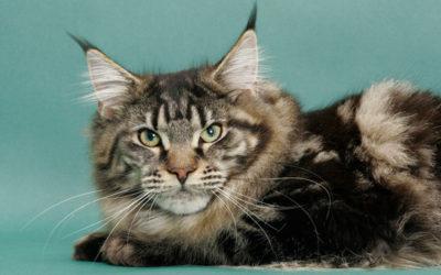 gatto maine coon5 400x250 1 - Gatto Maine Coon: carattere, educazione e aspetto