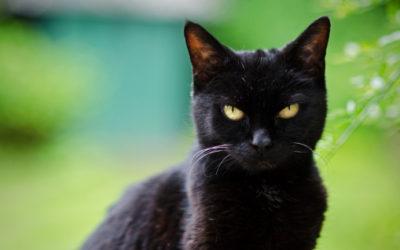 gatto nero4 400x250 1 - Gatto nero: carattere, storia e razze