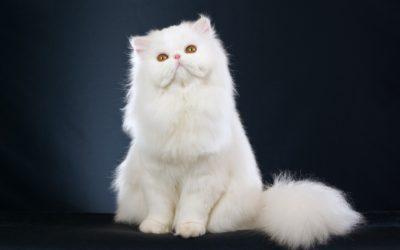 gatto persiano19 400x250 1 - Gatto persiano: carattere, educazione e aspetto - ricette-vegane-dal-web-