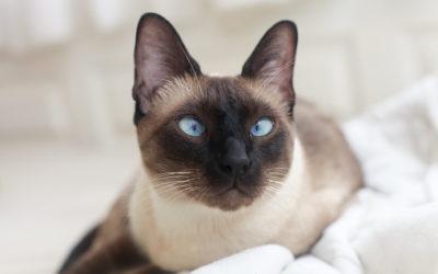 gatto siamese 400x250 1 - Gatto siamese: carattere, educazione e aspetto