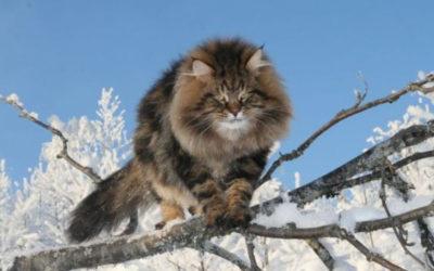 gatto siberiano3 400x250 1 - Gatto siberiano: carattere, educazione e aspetto - ricette-vegane-dal-web-