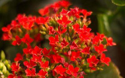 Kalanchoe 400x250 1 - Kalanchoe: cura e coltivazione di questa pianta