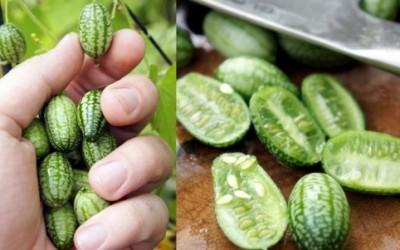 cucamelon e1376543320966 400x250 1 - Cucamelon, il melone che sembra un piccolo cetriolo - ricette-vegane-dal-web-