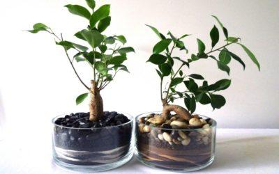 ficus1 400x250 1 - Ficus benjamin e altre varietà: cura di questa pianta tropicale