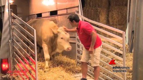 toro liberato dal macello